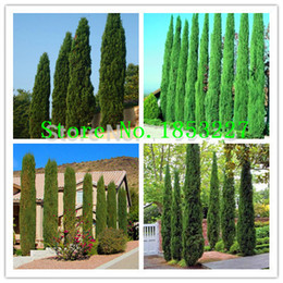 Wholesale Italian Seeds - Tree seeds 100 pcs ITALIAN CYPRESS (Cupressus Sempervirens Stricta) seeds Home gardening,Free shipping