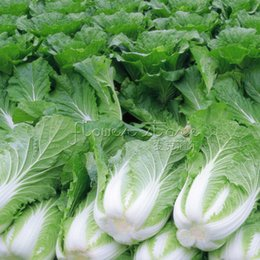 Wholesale Chinese Herbs Free Shipping - 400 Bok Choy Pak Choi Chinese Cabbage Seeds healthful Free Shipping TT260