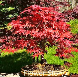 Wholesale Trees Wholesale Red Maple - 5 Japanese Red Maple Seeds-- Acer palmatum Seeds ,DIY Home Garden Mini Bonsai Free Shipping SS102
