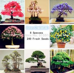 semi Bonsai 8 confezioni Semi Bonsai pino, bonsai acero, Sakura, giardino domestico di DIY, trasporto libero da