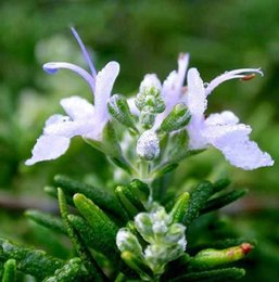 100 adet / paket Ithal Edible Herb Biberiye Tohumları Güzellik, Banyo, Pişirme Bahçe Dekorasyon Bonsai Çiçek Tohumları nereden tohum güzelliği tedarikçiler