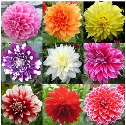 Wholesale Dahlia Flowers - 100pc lotFree Shipping Mixed Colors Dahlias Seeds For DIY Home Garden IZ0017 Wholesale, Drop Shipping
