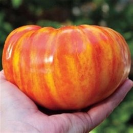 Wholesale Rainbow Garden - Garden Plant 50 SEEDS - Heirloom BIG RAINBOW STRIPEY BEEFSTEAK Tomato Seeds bonsai fruit vegetable seeds Bonsai Seed