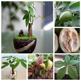 Wholesale Organic Sales - Hot Sale Pachira Money Tree Plant Seeds Potted Seeds Pachira Macrocarpa Seeds 1 PCS pack Free shipping