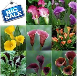 Wholesale Flowers Calla Lilies - Calla seeds, Zantedeschia aethiopica seeds, Calla Lily seed - mixing different varieties - 100 pcs
