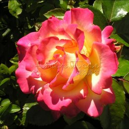 Wholesale Rose Bushes - 20 Colorful Rainbow Sorbet Rose Bush Flower Seeds Stratisfied Seeds Free Shipping TT048