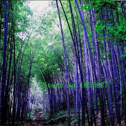 Wholesale Organic Package - Rare purple Timor Bamboo Seeds Bambusa black bamboo seeds planted courtyard Yi 100 PCS - package