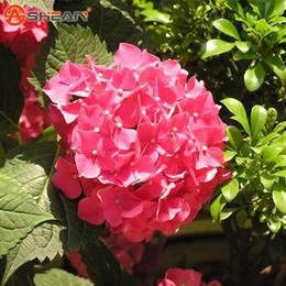2019 ortensia bonsai Rose Red Ortensia Semi balcone Bonsai Forte Viburnum Hydrangea Macrophylla Bonsai Pianta Semi di Fiori 100 Pezzi / lottp sconti ortensia bonsai