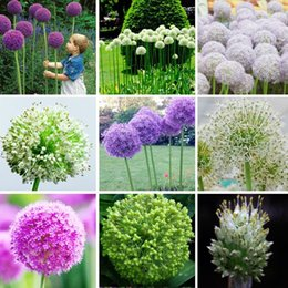 Wholesale Onions Seeds - Exotic Onion Seeds Giant Allium Seeds Multicolor Balcony Potted Flowers (White Purple Green) 30 PCS   Bag