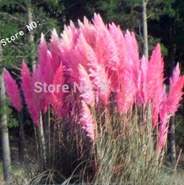 Wholesale Organic Decorations - Grass seeds 100 Impressive PINK PAMPAS GRASS Cortaderia Selloana Seeds Garden decoration DIY!