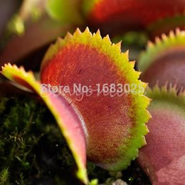 Wholesale Dionaea Seeds - 30pcs lot for Venus Fly Trap Dionaea Muscipula CARNIVOROUS Lure Bugs Plants Flower Seeds Dionaea Giant Clip Flytrap Seed