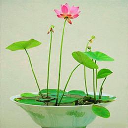 2019 planter des pots de tomates Mix Mini $ 5 Graines de fleurs vivaces Plusieurs couleurs de graines de lotus Apprenez à planter le lotus, 12 pièces Graines de nénuphar