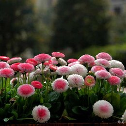 Wholesale Imports Perfumes - 5seeds pack Small daisy flower seeds imported seed strawberry ice cream perfume potted chrysanthemum tha souk dance 30