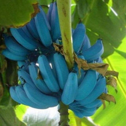 Piante di frutta online-100 pz / borsa rari semi di banana blu, bonsai semi di frutta verdura albero da frutto seme semi di cimelio organico pianta per la casa giardino
