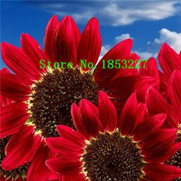 Wholesale Sunflower Seeds Wholesale - 50 pcs Helianthus Red Sunflower Seeds Red Sun Fortune Bloom Garden Heirloom Seeds Bonsai Plants Seeds OM