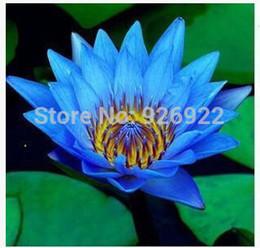 2019 bonsai di acero rosso giapponese Scodella semi di loto, semi di loto, semi di ninfea di loto, solo una particella / confezione