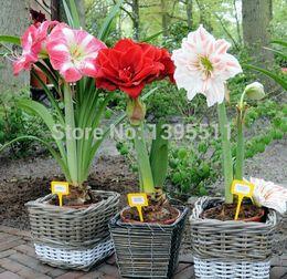 Graines d'amaryllis en Ligne-100 / sac Amaryllis graines de fleurs Barbadoslily graines de plantes Hippeastrum graines