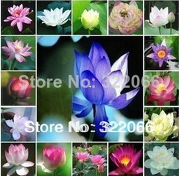 Wholesale Flower Germination - flower pots planters flower seeds Lotus Seeds, Nelumbo Lotus Seeds, Germination rate 95% lotus seeds,garden bonsai
