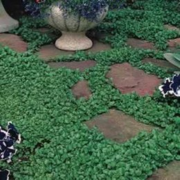 Wholesale Grass Free Lawn - 100 Dichondra Repens lawn seed money grass hanging decorative garden plants do flower seeds Free Shipping SS063