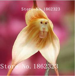 Wholesale Orchid Sales - Beautiful Monkey face orchids seeds, Multiple varieties Bonsai plants orchid seeds, varieties limited sales -100 pcs seeds