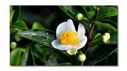 grandes sementes de flores Desconto Atacado -30 CAMELLIA sinensis sementes de chá verde grátis SHipping
