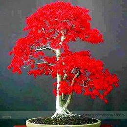 2019 acero rosso bonsai Semi di piante in vaso 20 PZ American Blood Red Maple Tree Seeds Bonsai Giardino di casa 10 pz / lotto RS74 acero rosso bonsai economici