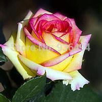 Trasporto libero, seme rosa e giallo delle rose laterali 200PC, semi di fiore del giardino da