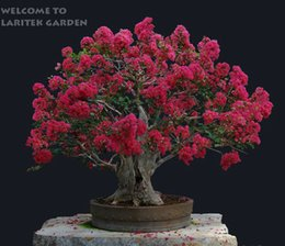Wholesale Cheap Wholesale Bonsai - Free shipping .100 pcs Cheap Home Plants HEIRLOOM SEED CRAPE MYRTLE BONSAI FLOWER SEEDS Garden Supplies Creepers perfume Flower