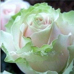 Wholesale Ombre Green - Free Shipping Light Green Pink And White Rose Seeds *200 Pieces Seeds Per Package* New Arrival Three Colors Ombre Charming Garden Plants