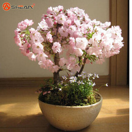 semi di erbe di eroi Sconti Giapponese Sakura Semi Cherry Blossoms Semi Giapponese Cherry Cerasus Yedoensis Biji, Semi di Fiori Bonsai Trasporto di Goccia - 10 PZ