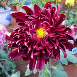Wholesale rare beautiful flowers - 100 pcs bag Rare Red Wine Chrysanthemum Seeds Chrysanthemum Morifolium Seeds Beautiful Flower Potted Plant for DIY Home&Garden