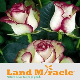 Wholesale Dh Lights - 100 Seeds pack, Home Garden Flower Seed Light Purple and White Exquisite Blooming * DH Rose Seeds*, New Rose Seeds Land Miracle