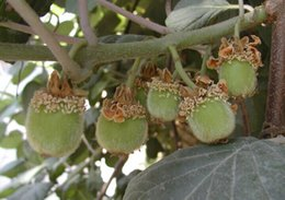 Wholesale Promoting Kiwi fruit seeds Potted plants MIN tree Nutrition is rich beautiful Bonsai Vegetable melon seed