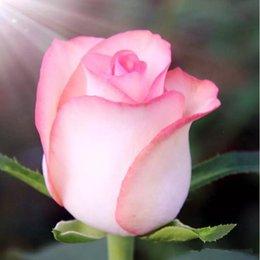 2019 mescolare i semi di bonsai Colorful Rainbow Mix Colore Easy-growing DIY Pianta perenne Semi di fiori Bonsai bloom Da Rose Flower Seeds 100 pezzi Wedding Flowers mescolare i semi di bonsai economici