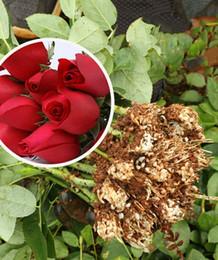 2019 planter des pots de tomates rouge chinois quatre saisons rose semis, Carola fleurs coupées fraîches, grandes fleurs, rose plants, roses