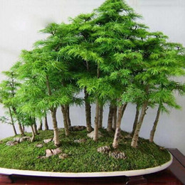 semi di pino Sconti 100% albero di pino genuino Albero semi Bonsai 20 PC Seedsplants All'interno Very Beautiful Garden of House Decortion