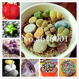 Lithops samen für online-300 pcs Seeds Lithops flores Mix Varieties Succulents plantas rare stone flower plante Succulents Bonsai plant for home garden Decor