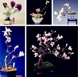 2019 grandes sementes de flores Multicolor Magnolia sementes, sementes de flores subtropicais jardim, bonsai planta para o exterior, tamanho pequeno, médio e grande porte, 10 pçs / saco Frete Grátis grandes sementes de flores barato