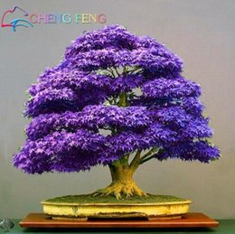 bonsai giapponese d'acero Sconti 20pcs mini bella semi giapponesi viola acero plantas e fai da te pianta bonsai rare piante semi di albero