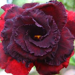 Rosso ornamentale online-10PCS Bonsai Desert Rose ornamentali piante da fiore Seeds, raro rosso nero Adenium Obesum piante da appartamento