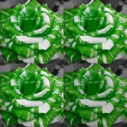 planta de rosa verde Rebajas 100 Unidades Barato Desierto Verde Semillas de Rosa Adenium Obesum Flores Semilla Perenne Exótico Adenium Obesum Plantas Perennes Balcón Jardín