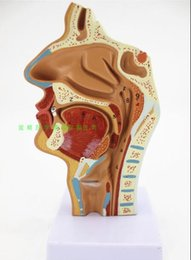 anatomy models Promo Codes - Nasal cavity, oral cavity, larynx, pharynx model nasal cavity longitudinal section model human cavity orthodontic anatomy