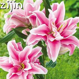 Canada Vente chaude 50 pcs True Rose Lily Fleur Lilium Plantes Faint Scen Bonsai Pot Plantation Pour La Maison Jardin Décoration C19041601 supplier lilium lily Offre