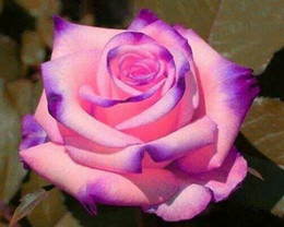 Wholesale Gardening Charms - Free Shipping Purple And Pink Rose Seeds *100 Pieces Seeds Per Package* New Arrival Two Colors Ombre Charming Garden Plants