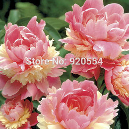 Wholesale Tree Peony Wholesale - 10pcs lot Rare Heirloom Sorbet Robust Colorful Double Blooms Peony Tree Seeds bonsai plant home garden free shipping P1
