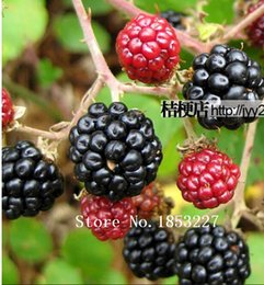 Wholesale Organic Fresh Fruits - Fruit seeds 100pcs Perennial New Sweet Apache Thornless Blackberry Seeds Tasty Fruit - Fresh Seeds