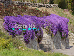 Wholesale Flower Ground Cover - 100pcs Cress,Aubrieta Cascade Purple FLOWER SEEDS, Deer Resistant Superb perennial ground cover,flower seeds for home garden
