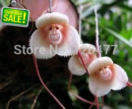 Semi di fauna di scimmia online-Semi di orchidee belle scimmie faccia, varietà multiple piante bonsai semi per giardino di casa - 100 pezzi semi