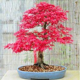bonsai di acero rosso giapponese Sconti 50 Mini Beautiful Japanese Red Maple Bonsai Seeds, DIY Bonsai * SEMI DI ACERO FRESCO * Spedizione gratuita