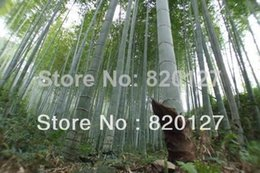 bonsai di acero rosso giapponese Sconti 300PCS MOSO BAMBOO HUGE MAO BAMBOO- Semi - Phyllostachys pubescens / edulis - Moso Hardy Bamboo